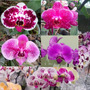 Orquídea Phalaenopsis Por R$ 5,99.