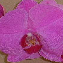 Muda De Orquidea Phalaenopsis