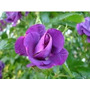Sementes De Rosas Trepadeira Roxa