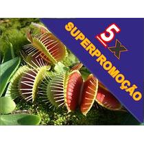 Superpromoção Plantas Carnívoras! 5 Venus Flytrap + Brindes!