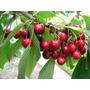 3 Sementes De Cereja Vermelha Red Cherry Frete Grátis