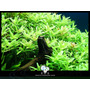Rotala Sp Green Planta Para Aquario