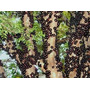 Mudas De Jabuticaba Produzindo - Mudas Enxertadas - Plantas