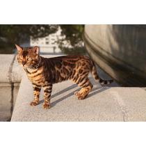 Gato Bengal - Filhotes Disponíveis