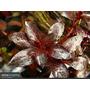 Ludwigia Sp Red Planta Aquatica Para Aquario(04 Ramos)