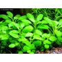 Lobélia Cardinalis Small Form Planta Para Aquario (muda)