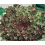 560 Sementes De Alface Mimosa Salad Bowl Roxa Frete Grátis
