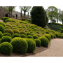Buxus Sempervirens - Cerca Viva Topiaria - Sementes P/ Mudas