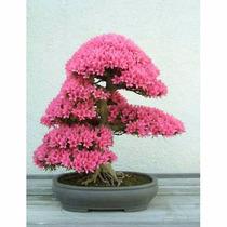 Sementes Bonsai Judas Tree Cercis Siliquastrum Árvore P Muda
