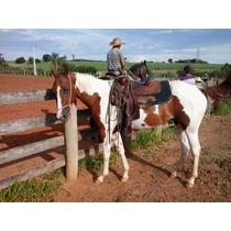 Potra Paint Horse Po