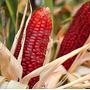 5 Sementes De Milho Vermelho - Frete Grátis