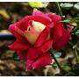 Rosas Exóticas 24 Sementes Com Cores Diferente - Uma De Cada