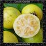 Araçá Amarelo Verdadeiro Anão Sementes Frutas Para Mudas