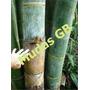 100 Sementes De Bambu Gigante Frete Grátis Carta Registrada