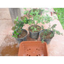 Kit Bonsai C/ Pyracantha, Cotoneaster E Ulmus. Mudas Prontas