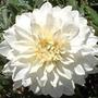 Bulbos De Dálias Brancas Dobradas Dahlia Gigante Variabilis