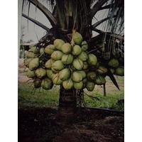 Mudas Coco Anão Precoce Da Bahia