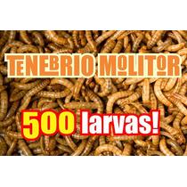 Tenébrio Molitor 500 Larvas Tratadas Com Vitaminas!