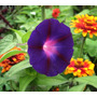 Kniola Black Morning Glory Ipomoea Purpurea Sementes Raras