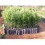 Mudas E Plantas Em Geral (fruticultura Abritta Dona Euzebia)