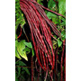 Sementes Raras Red Yard Long Beans Feijao Mudas Vegetais