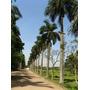 50 Sementes De Palmeira Imperial (coca - Cola) !