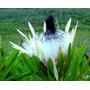 Proteas - Protea - Plantas Ornamentais - Flores - Jardim