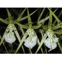 Mudas De Orquideas Brassia Verrucosa Adulta