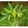 Sementes De Trevo-cheiroso Melilotus Officinalis (amarelo)