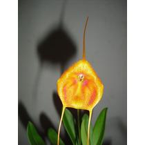 Orquídea Masdevallia Adulta No Vaso, Raríssima Orquídea ####