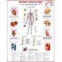 Mapa: Sistema Circulatório Humano