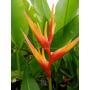 Heliconia Golden Torch Adrian - Muda - Flores Tropicais