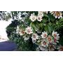 Mudas De Ora-pro-nóbis (pereskia Aculeata) - Flor Cerca Viva