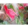 Anturio Natural Apenas 22,00 Mudas Com Flores