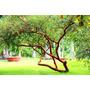 Mudas De Acacia (acacia Seyal) Acacia Pom Pom Mudas Exóticas
