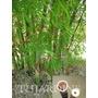 100 Sementes De Bambu Gigante Ferro - Dendrocalamus Strictus