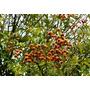 Mudas De Saboneteira Fruta Sabão Sapindus Saponaria