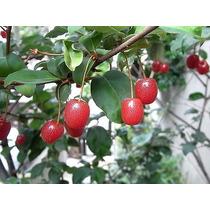 Muda Elaeagnus Multiflora - Gumi Cereja - Ideal Para Bonsai