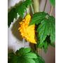 Fruta Momordica Charantia Exótico E Nutritivo 20 Sementes