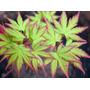 Mudas De Acer Palmatum C/ 4 Anos - Ideal Para Bonsai
