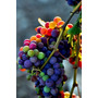 Kit 5 Sementes De Uva Colorida (colorful Grape) Frete Gratis