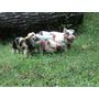 Mini Porco Excelente Linhagem Promoção Machinho R$ 1000,00