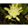Mudas De Dama Da Noite Amarela Epiphyllum Gigante Kirsten