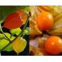 Sementes Para Mudas Fruta Physalis Angulata,/ Frete Grátis