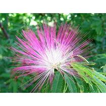 Mudas Calliandra Flores Rosa Adultas (caliandra - Escovinha)