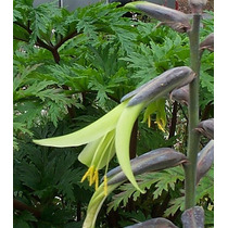 10 Sementes De Puya Mirabilis - Bromelia - Flor - Planta