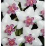 Mudas De Flor De Cera - Hoya Bella - Lindissima Planta #####