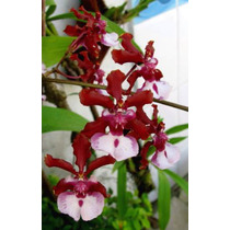 Orquídea Chocolate Adulta (oncidium Sharry Baby) Perfumadas