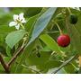 Mudas Da Fruta Calabura - Exótica, Comida Para Peixes