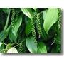 Pimenta Do Reino Preta Em Grãos, Orgânica, Sem Agrotóxicos